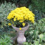 ما گل ها، زرد، محوطه سازی ایده ها