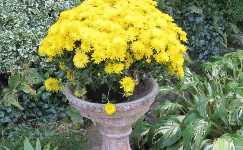 Mum Flowers Landscaping Ideas
