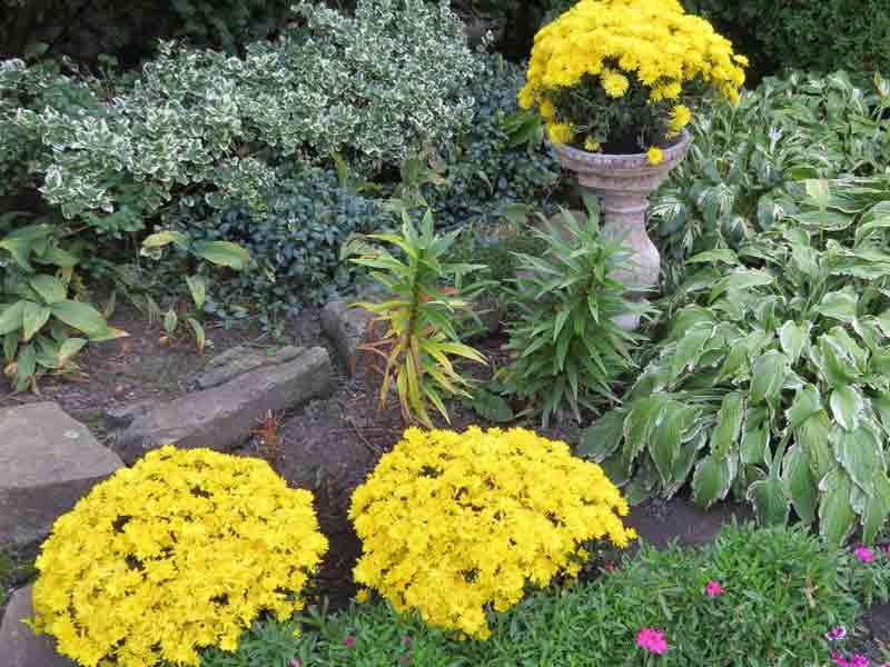 Las mamás se ven muy bien en el centro de jardinería en sus macetas. Si las plantas las flores de la madre pueden ser muy bajas al suelo. Considere plantarlos solo a mitad de camino en el suelo en sus macetas existentes