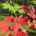 شجرة القيقب الأحمر