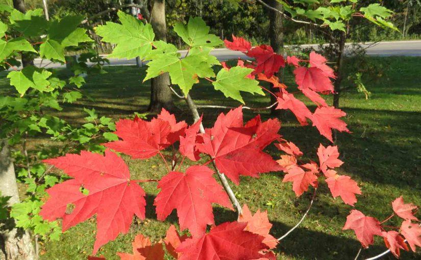 Красный клен листья