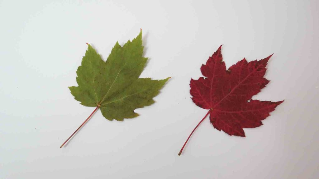 Red Maple Tree Leaf - sommer versus høst