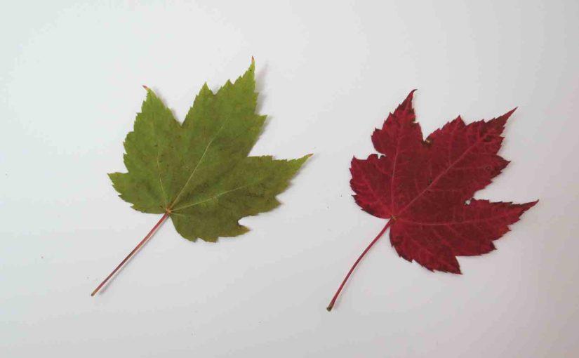Красный лист кленового дерева в падении