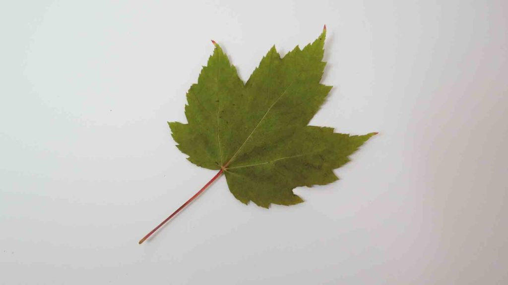 Red Maple Tree Leaf Summer Green Leaf