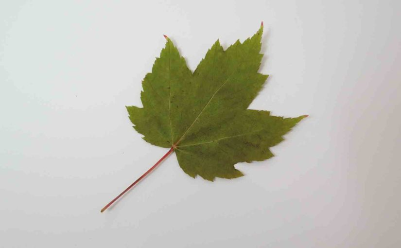 Red Maple Tree Feuille