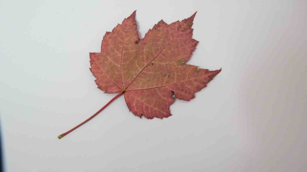 Red Maple Tree i høst Bright Red Leaf Backside
