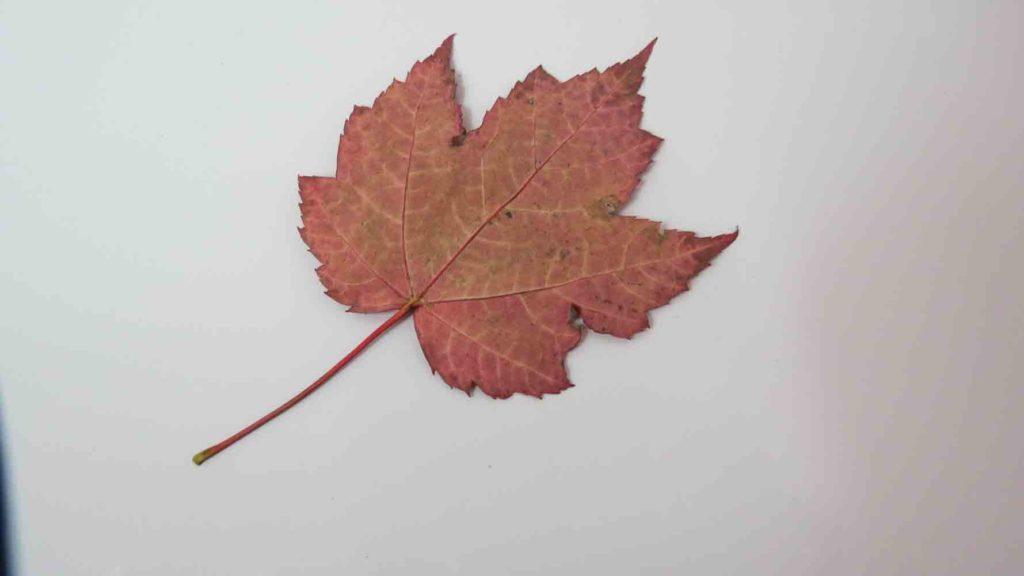 Arbre rouge d'érable en automne Rouge brillant en arrière