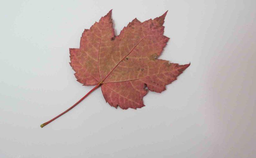 Красное дерево кленового дерева