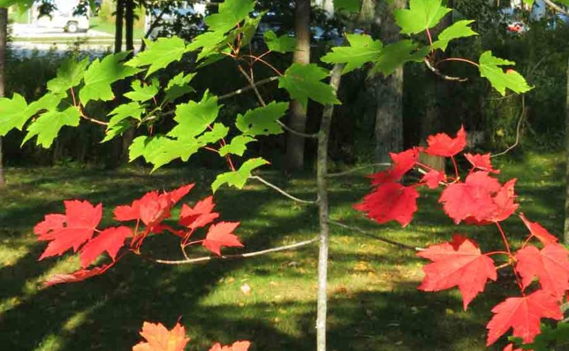 Picture of a Red Maple Tree