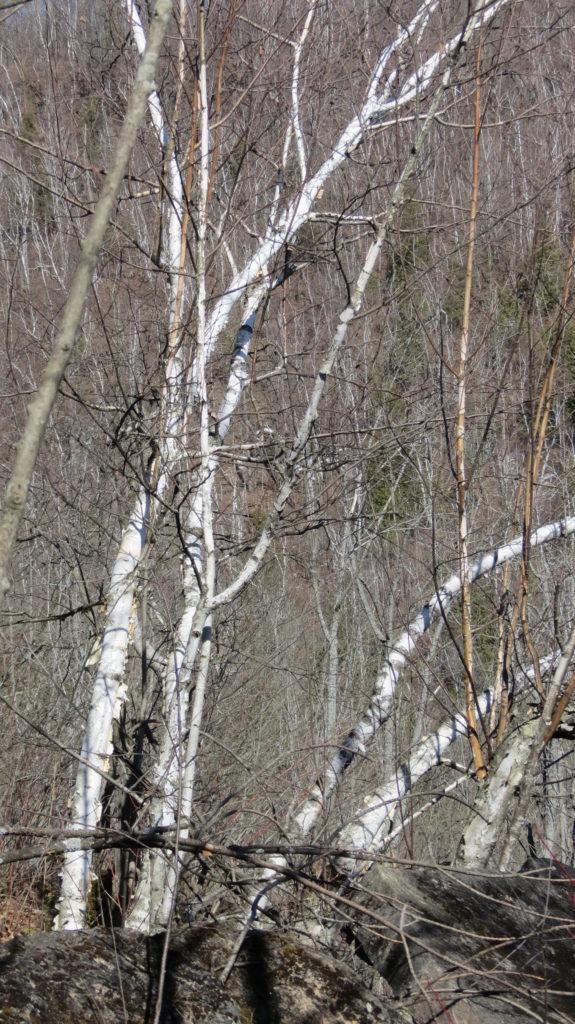 Birch Tree – Tree Pictures Log