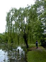 imagem da árvore de salgueiro