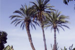 Palm Tree Pictures, Palm Tree Fotos, Image of Palm Baum, Palme Pic