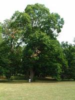 栗の木の絵
