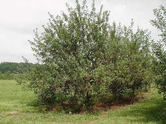 apple tree. Apple Tree Photos