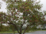 apple tree picture