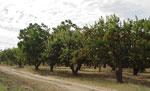 شجرة صور