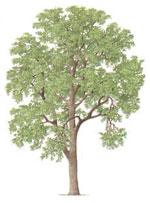 الرماد شجرة، صورة شجرة الرماد