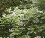 درخت خاکستر برگ