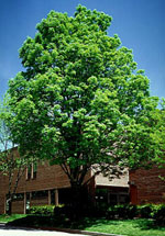 Ash Green Tree, Picture of an Pokok Ash