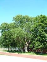 شجرة الرماد صور