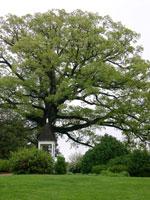 الرماد، الرماد شجرة كبيرة في الربيع