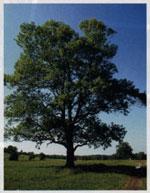白蜡树照片