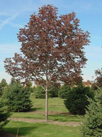 Purple Ash Tree di Fall