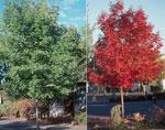 白蜡树在春季和秋季