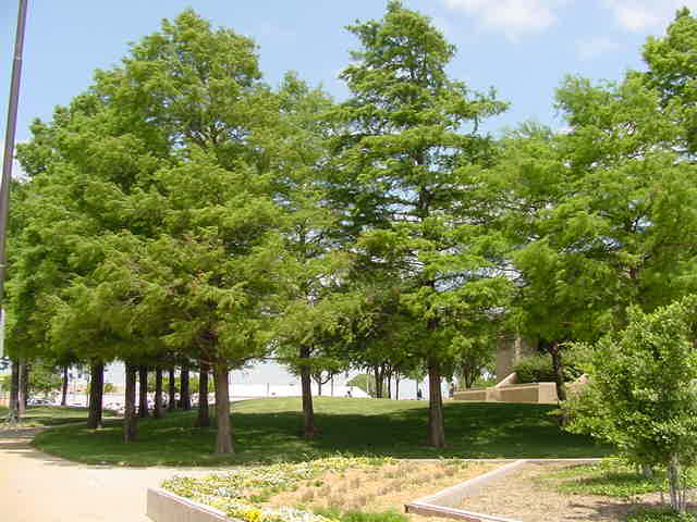 Bald Cypress Tree Species Facts On Trees