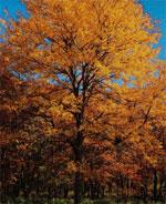 Miele Locust albero