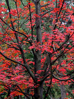 Maple Pohon, Gambar, Foto Maples Pohon