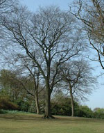 beech tree picture