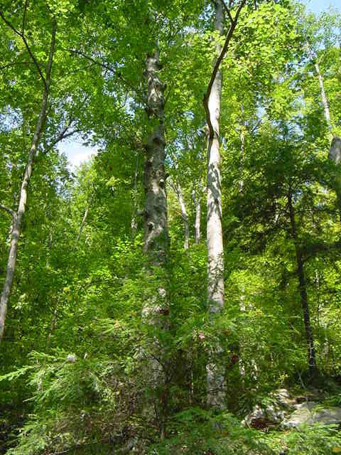 http://tree-pictures.com/beechtree2.jpg