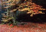 Pictures of Beech Trees
