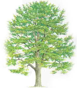 Types Of Beech Tree With Pictures