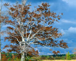 faia imagem da árvore