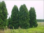 Arborvitae Tre; Bilder av Store Arborvitae Trees