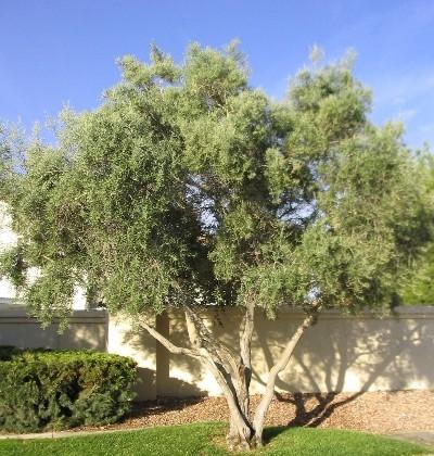 File Olive tree