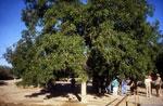 Pecan Gambar Pohon