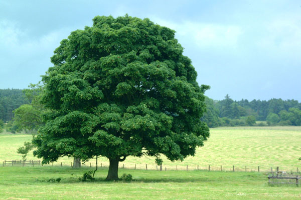 Oak Tree wallpaper by