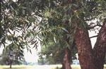hickory ağaç resmi