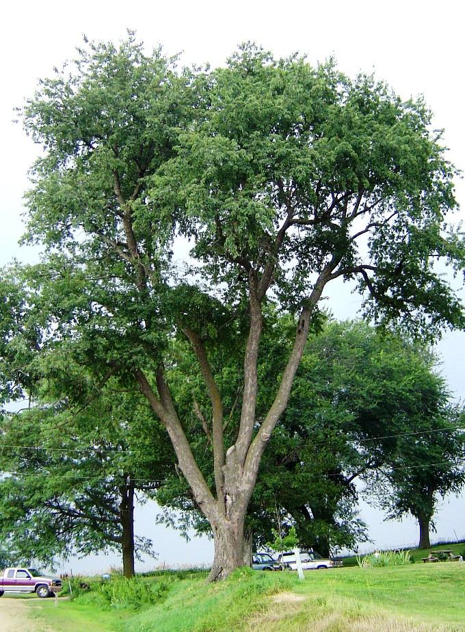 cherry tree bark. Cherry Tree Pictures