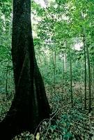 imagem da árvore de ébano