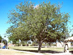 Walnut Tree Species, Large Black Walnut Pohon