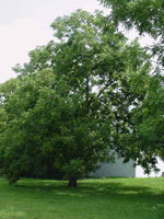 Large Black Walnut Tree Foto