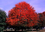 foto del árbol de goma