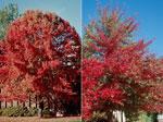 Bild von Black Tupelo Gum Tree
