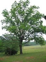 Walnut Tree, Young Black Walnut Foto Pohon