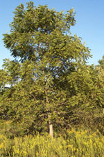 Negro Walnut Picture Tree