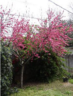 Peach Trees, Blossoming Flowering Peach Tree, Pictures, Images & Photos for Peach Tree Identification
